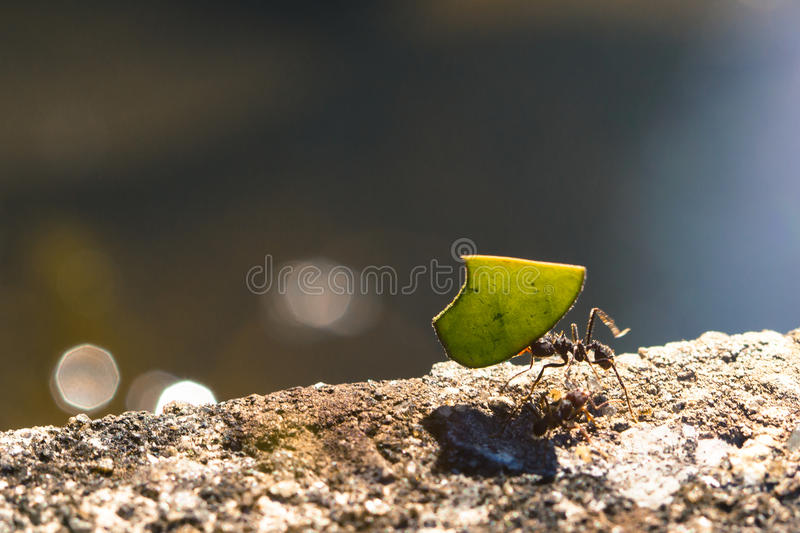 Leaf cutter ant carrying a piece of green leaf. On top of a cement wall against a clear bluish background royalty free stock photography