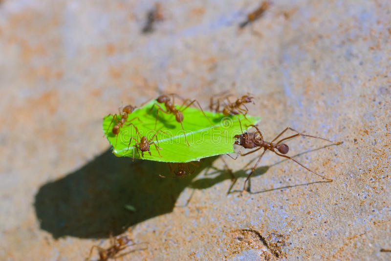 Leaf-cutter Ants Royalty Free Stock Photo