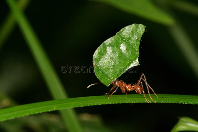 Leaf-cutting ant royalty free stock photo