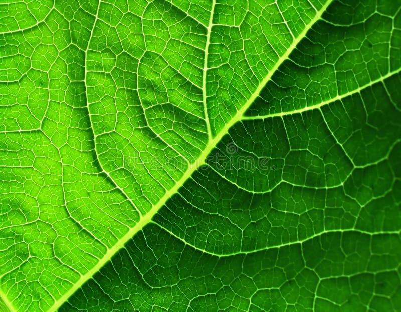 Download Leaf of cymbling stock photo. Image of cymbling, botany - 196716