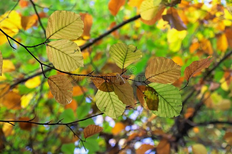 Leaf, Deciduous, Tree, Autumn royalty free stock images