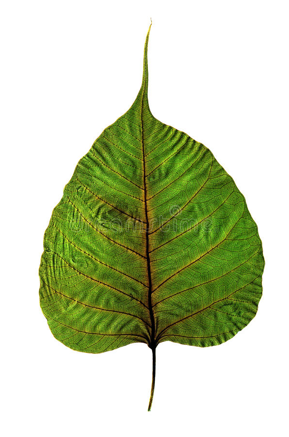 Free Leaf Detail Royalty Free Stock Photo - 14950705