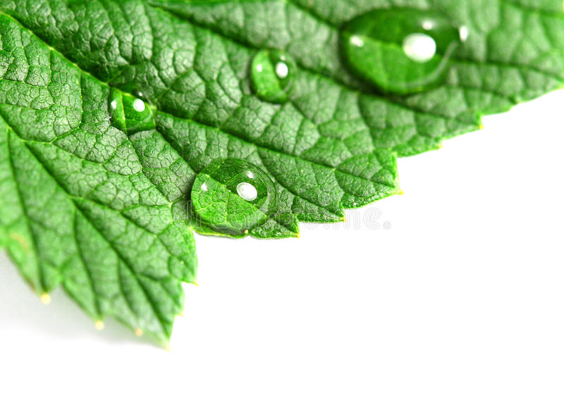 Leaf and dew royalty free stock photography