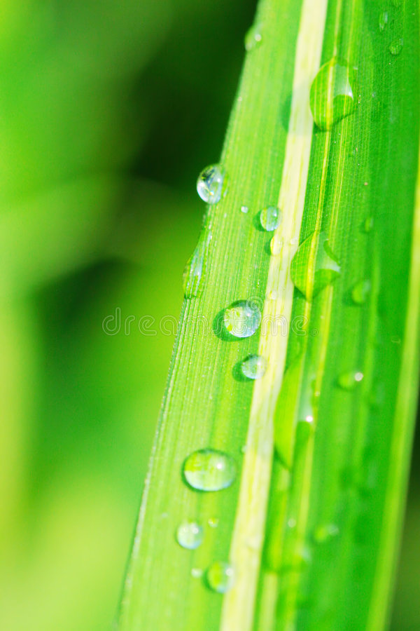 The leaf with dew stock photos