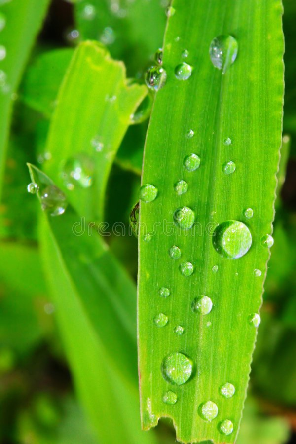 The leaf with dew royalty free stock image
