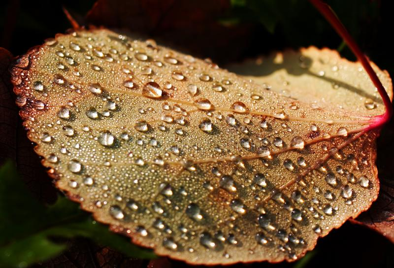 Leaf with dew drops stock photography