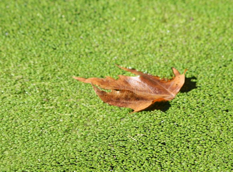 Leaf on duckweed. A brown leaf on green duckweed royalty free stock images