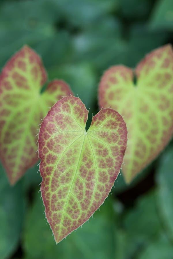 Download Leaf Of An Epimedium Flower Stock Photo - Image: 25470440