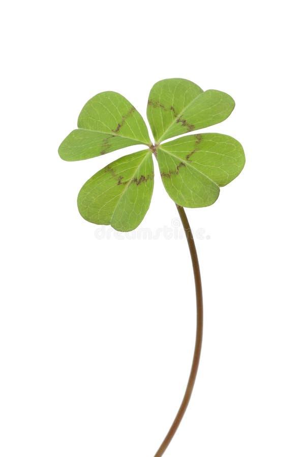 leaf för växt av släkten Trifolium fyra arkivbild
