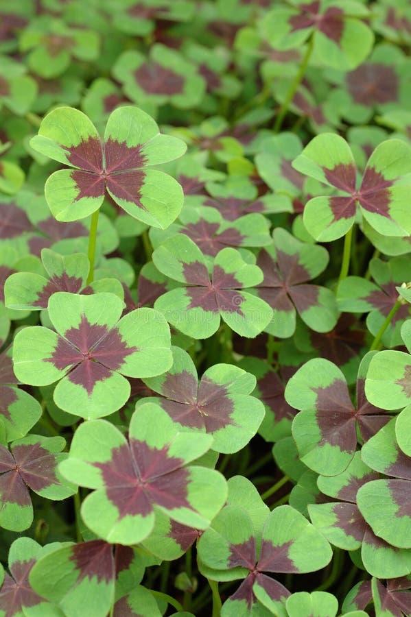 leaf för växt av släkten Trifolium fyra royaltyfria bilder