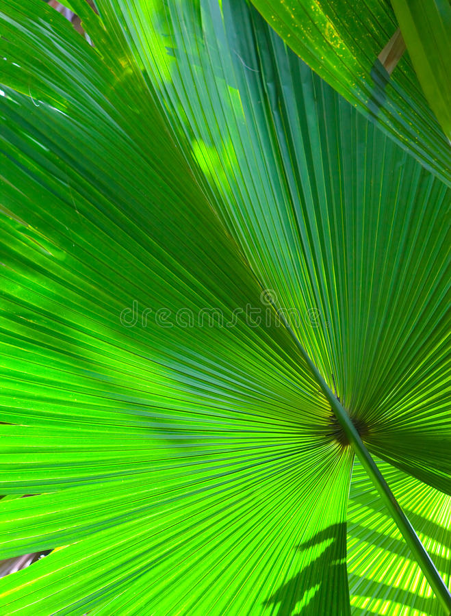Download Leaf of a fan palm tree stock image. Image of fresh, design - 24684875