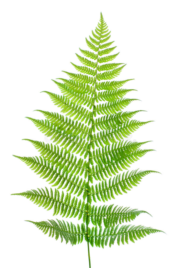 Leaf of a fern on a white stock photography