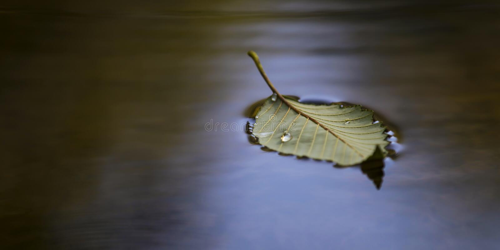 Leaf floating. Leaf with a water droplet floating on a pond stock photography