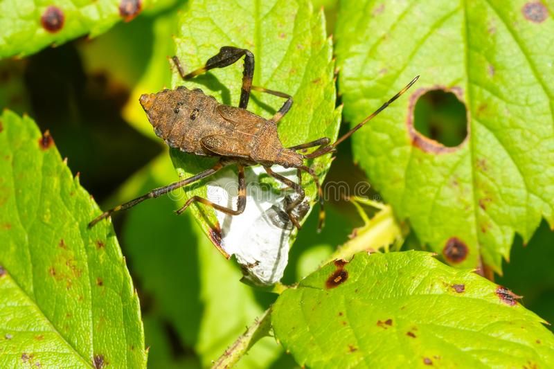 Spine-headed Bug - Acanthocephala terminalis. A Spine-headed Bug nymph is eating excrement on a green leaf to collect the needed minerals it holds.  Taylor Creek stock photography