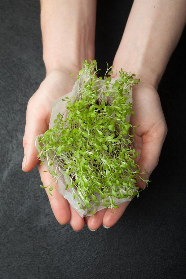 Leaf fresh lettuce, sprouts of micro greens in hands, close-up royalty free stock photos