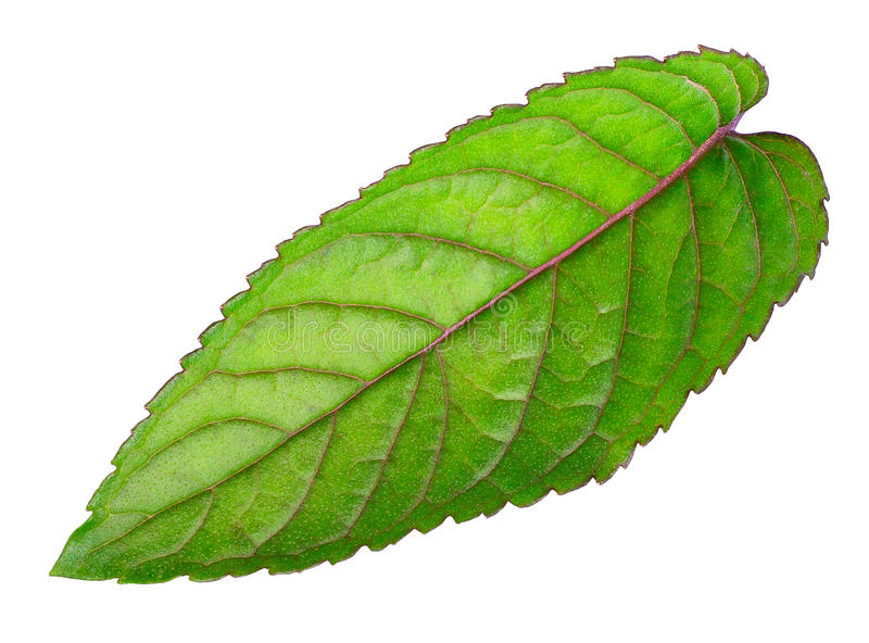 Leaf of fresh mint isolated on white background royalty free stock images