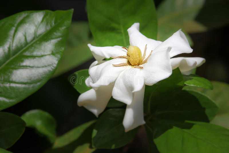 Leaf of Gardenia jasminoides flower royalty free stock photos