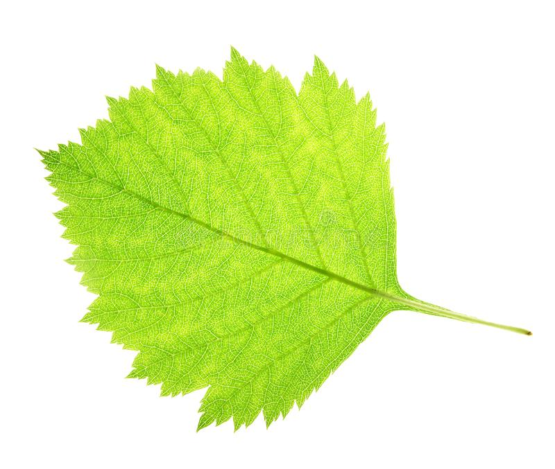 Download Leaf on a gleam stock image. Image of object, green, macro - 5993243