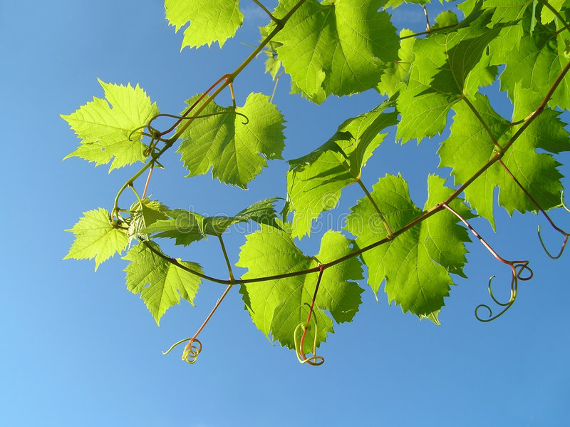Leaf from grape plant stock images