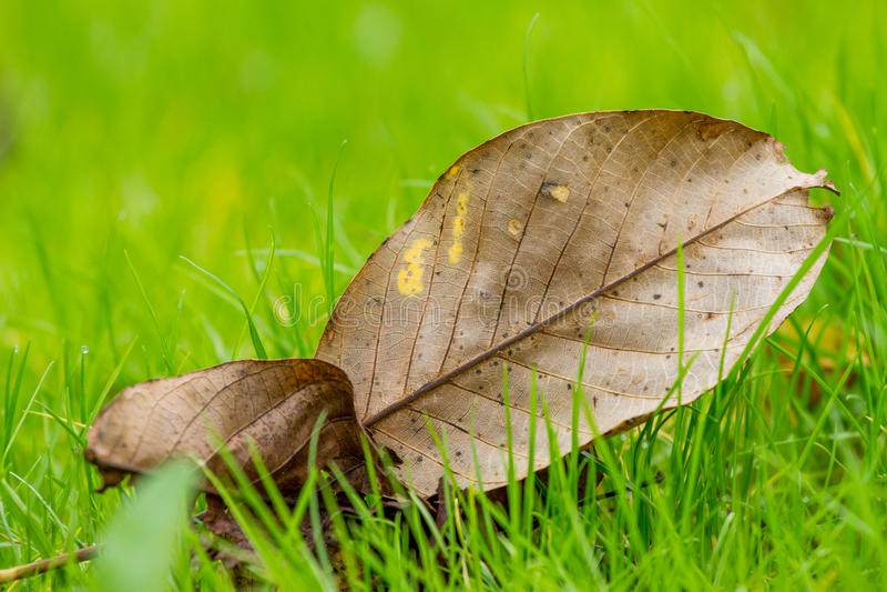Leaf on gras, autum season royalty free stock image