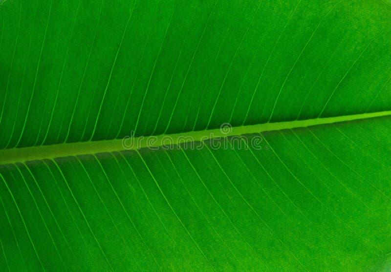 Leaf, Green, Banana Leaf, Plant stock photography
