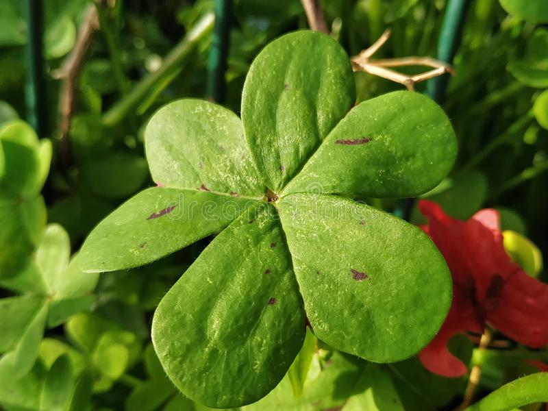 Leaf of green clover a day with sun in Spain. Photo taken in 2019 stock photo