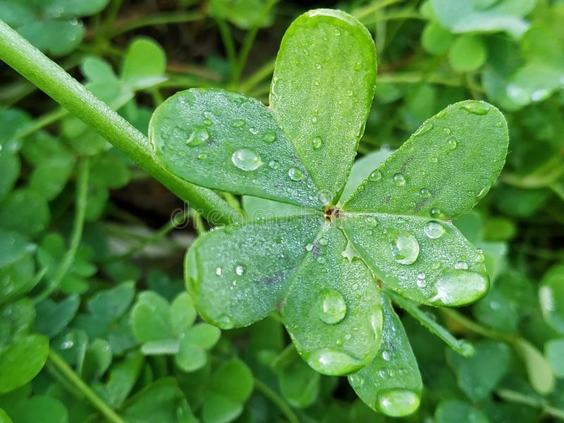 Leaf of green clover with water drops a day with sun in Spain. Leaf of green clover a day with sun in Spain. Photo taken in 2019 royalty free stock photo