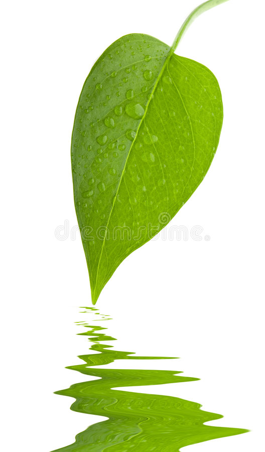 Leaf Green And Fresh Isolation Royalty Free Stock Images