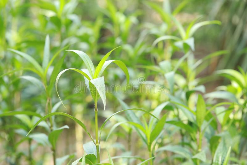 Leaf of green grass royalty free stock photos