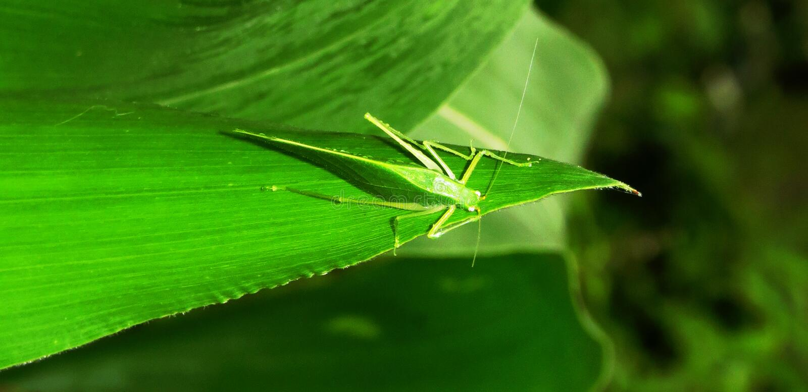 Leaf, Green, Grasshopper, Insect royalty free stock image