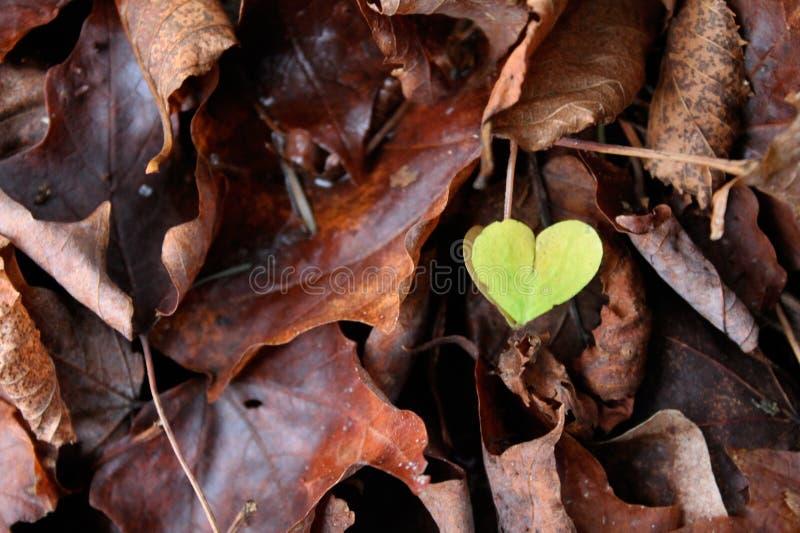 Leaf green heart shaped stock image