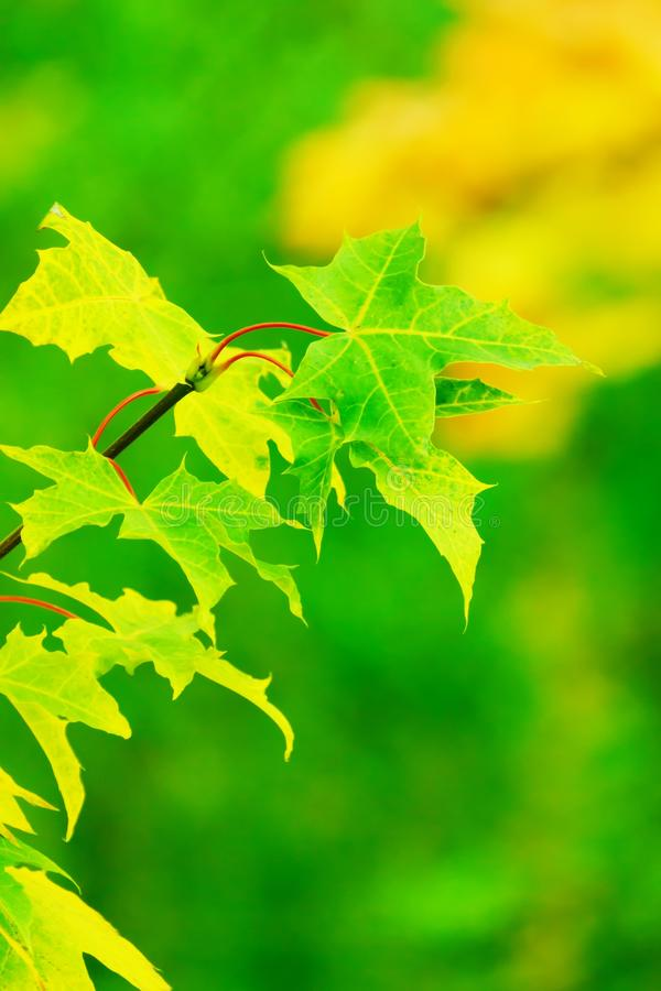 Leaf, Green, Maple Leaf, Deciduous royalty free stock images