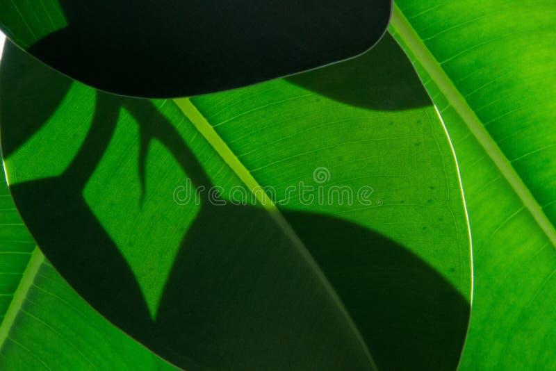 Leaf, Green, Plant, Banana Leaf stock photos