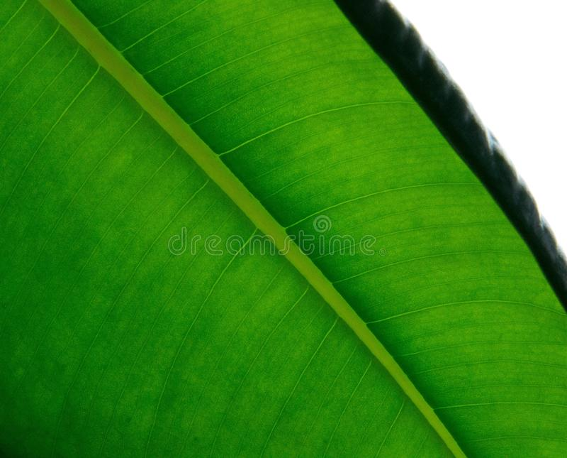 Leaf, Green, Plant, Banana Leaf royalty free stock image