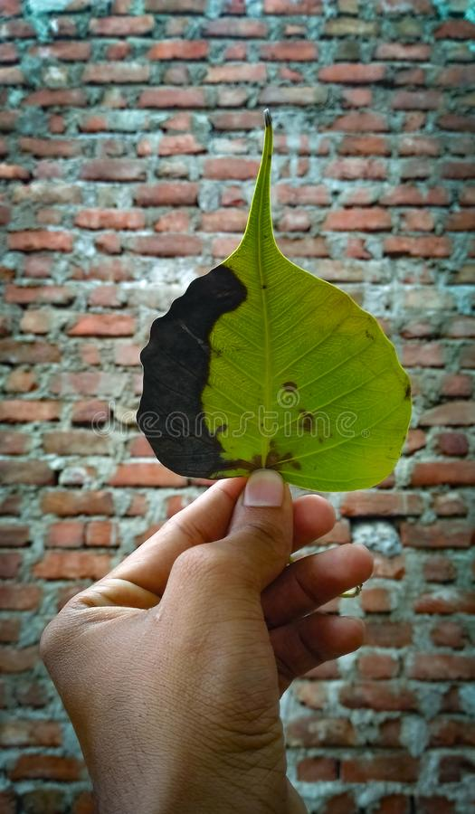 Leaf in hand stock images