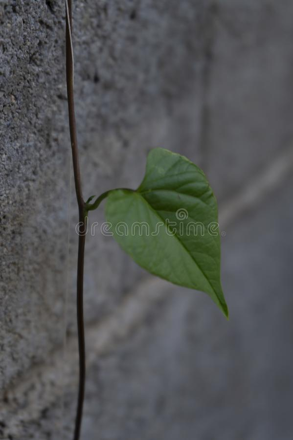One single leaf heart shaped with  simple grey background stock image