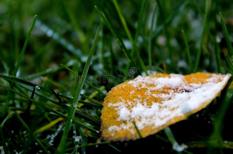 Leaf with hoarfrost on it, against the background of green grass and snow stock photo