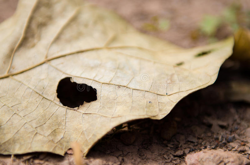 Leaf with hole by bug eaten stock photo