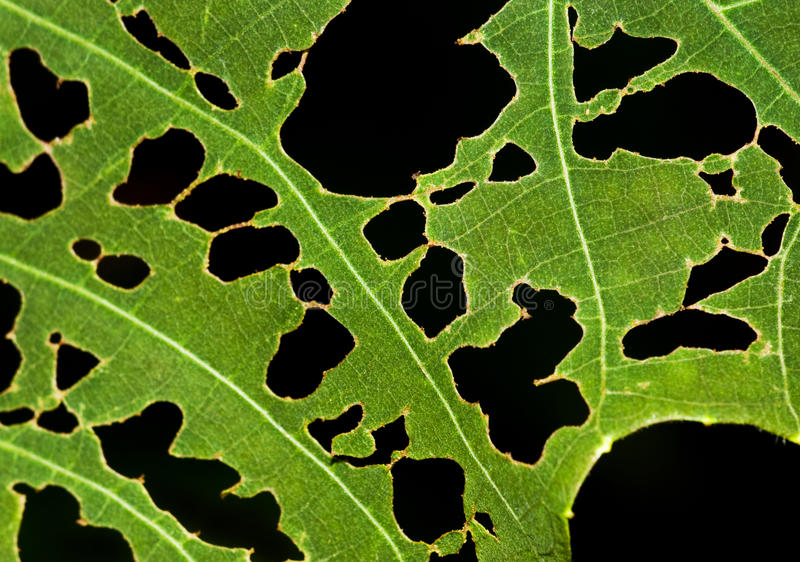 Leaf with holes royalty free stock image