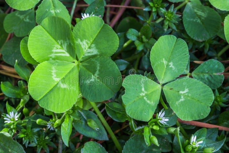4-leaf i 3 liść koniczyny fotografia stock