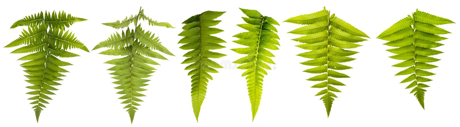 Leaf isolated on white background with clipping path. Leaves use for brush and more decorative royalty free stock images