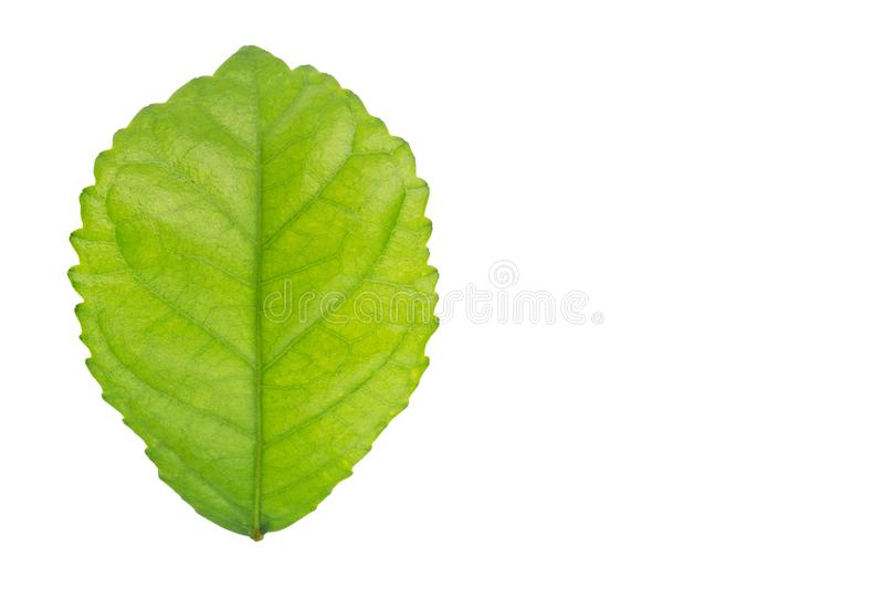 Leaf isolated on a white background with clipping path stock illustration