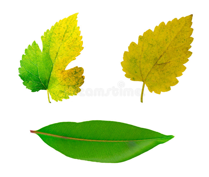 leaf isolated on white background.total leaf isolated on w stock photos