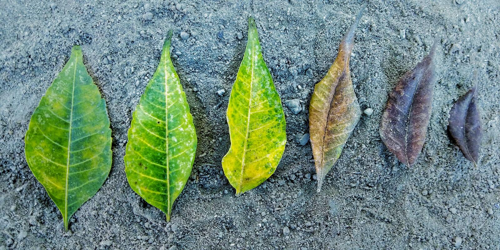 Leaf life cycle closeup image. Leaf life cycle with closeup image. Story telling image. Life of leaves royalty free stock photography