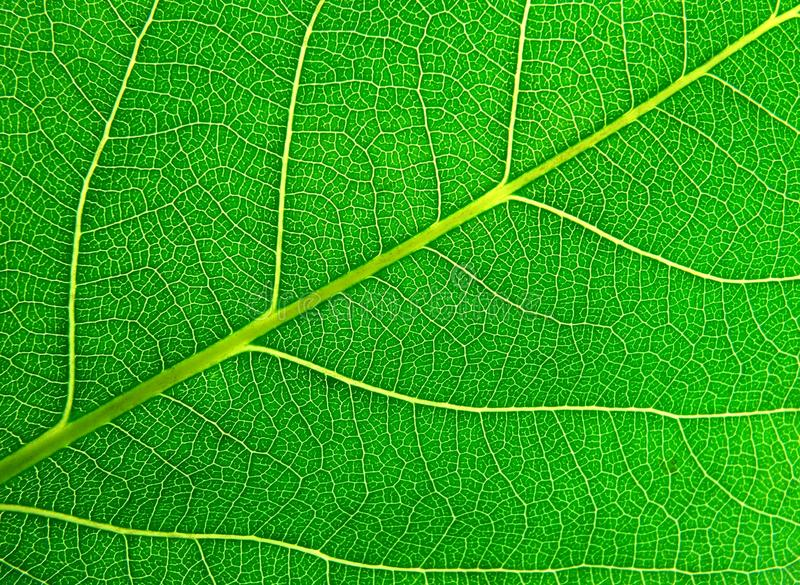 Leaf lines. Seen in his texture royalty free stock photography