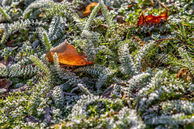Leaf lying on green plants with hoar frost stock photography