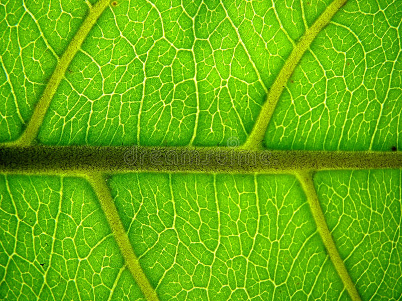 Leaf Macro - Indian Almond royalty free stock images