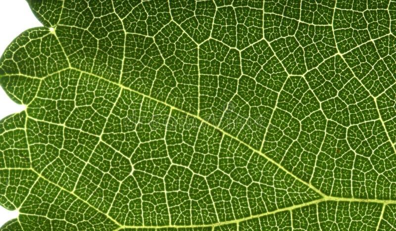 Leaf Macro View Royalty Free Stock Photo