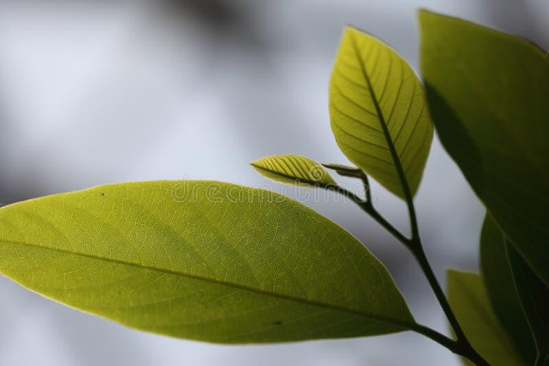 Download Leaf stock image. Image of plant, details, pinnate, green - 31003675