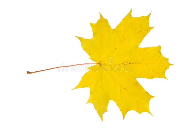 Leaf of a maple stock photo